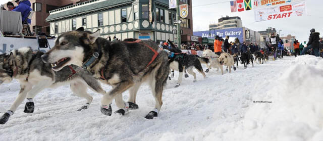 Iditarod Sled Dog Race, Sled Dogs Mushing