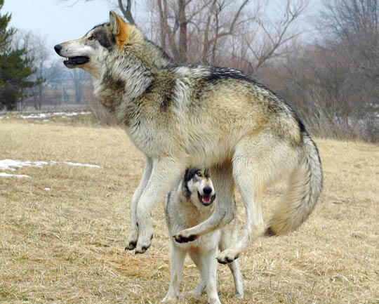 DOG vs WOLF HISTORY & ORIGINS, DOMESTICATION
