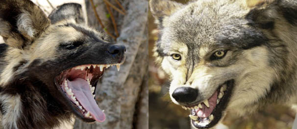 WILD DOG vs GRAY WOLF FIGHT COMPARISON