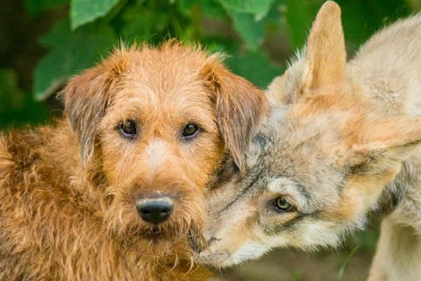 DOG and WOLF Ë Ëšá´¥ËšË€ DOGICA® 3D Wolf vs Dog Difference