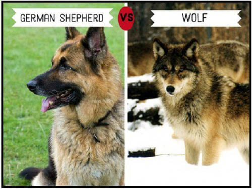 DOGS THAT LOOK LIKE WOLVES - WOLFDOG: WOLF-DOG, DOG-WOLF