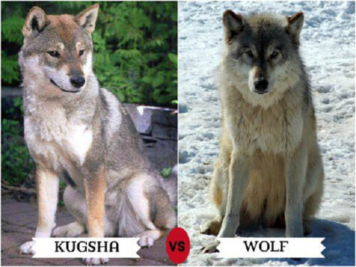 DOGS THAT LOOK LIKE WOLVES - WOLFDOG: BREED SPECIFICATIONS, HYBRID DOG, MIXED DOG, DOG AND WOLF, WOLF-DOG, DOG-WOLF