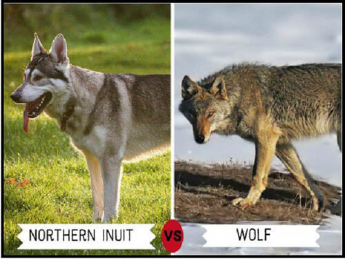 DOGS THAT LOOK LIKE WOLVES - WOLFDOG: BREED SPECIFICATIONS, DOG AND WOLF, WOLF-DOG, DOG-WOLF