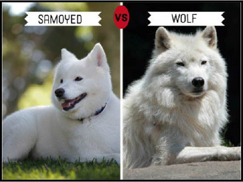 DOGS THAT LOOK LIKE WOLVES - WOLFDOG: BREED SPECIFICATIONS, HYBRID DOG, MIXED DOG