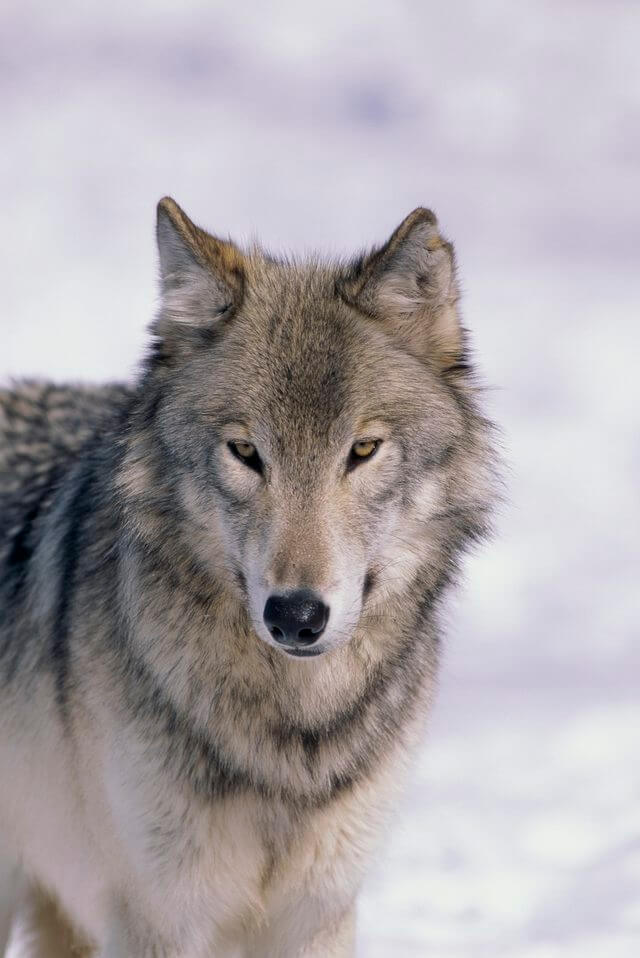 DOG vs WOLF BREEDING and GENETICS