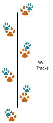 HOW TO DISTINGUISH WOLF TRACKS and STEPS?
