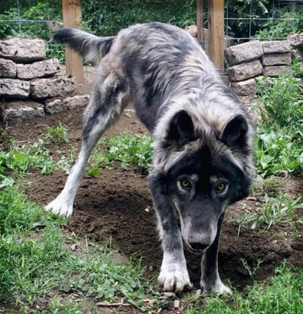 RAISING & TRAINING A WOLF-DOG, TRAINING