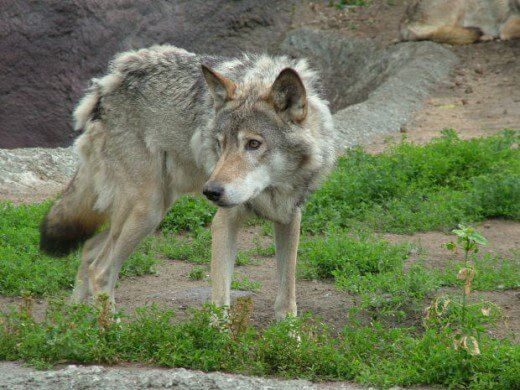 DOG AND WOLF, DOG & WOLF, DOG vs WOLF GENETICS, BREEDING, EVOLUTION, DOMESTICATION