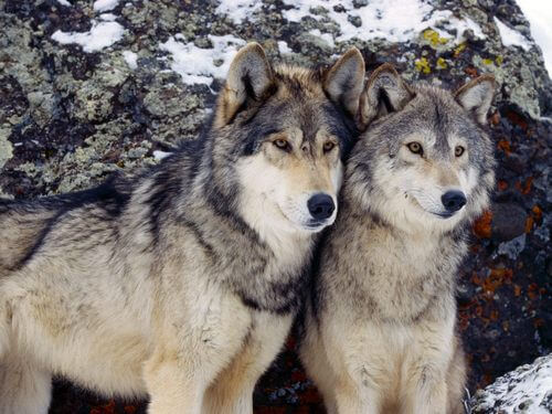 PET WOLF & DOG DOMESTICATION