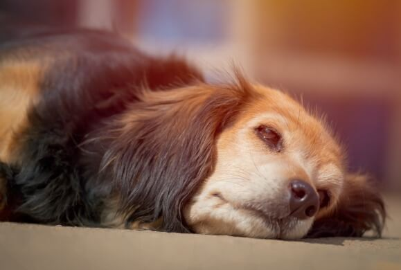 DOG BREEDS AFFECTABLE by SEPARATION ANXIETY, SEPARATION ANXIETY PRONE DOGS