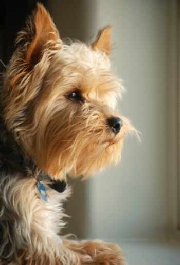 FIGHT DOG SEPARATION ANXIETY - BEHAVIOR MODIFICATION