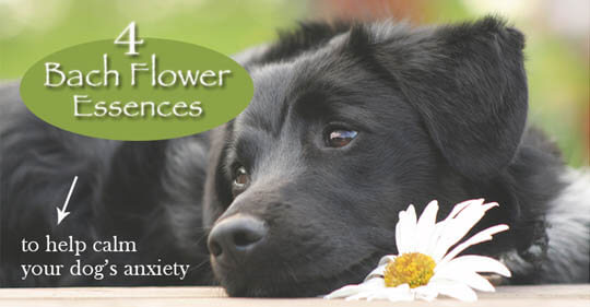 DOG SEPARATION ANXIETY - HOMEOPATHIC & HERBAL REMEDIES