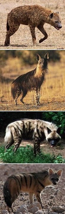 TYPES OF HYENAS by WWW.WIKIPEDIA.ORG