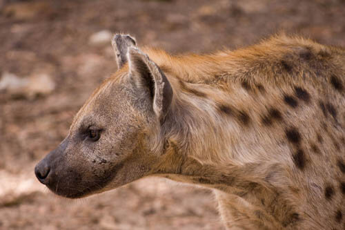 HYENA WILD DOGS FACTS, INFORMATION