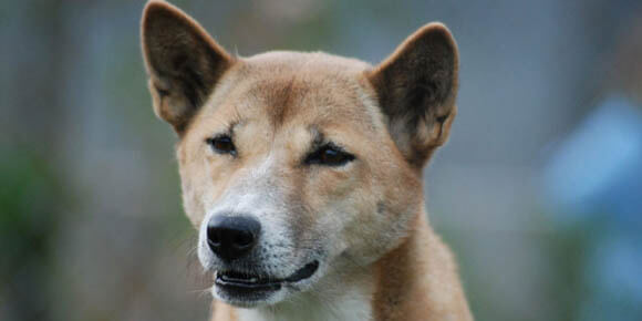NEW GUINEA SINGING WILD DOG PHOTO PICTURE IMAGE