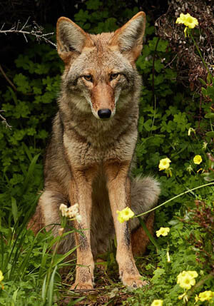 COYOTE: FACTS, INFORMATION, PHOTOS