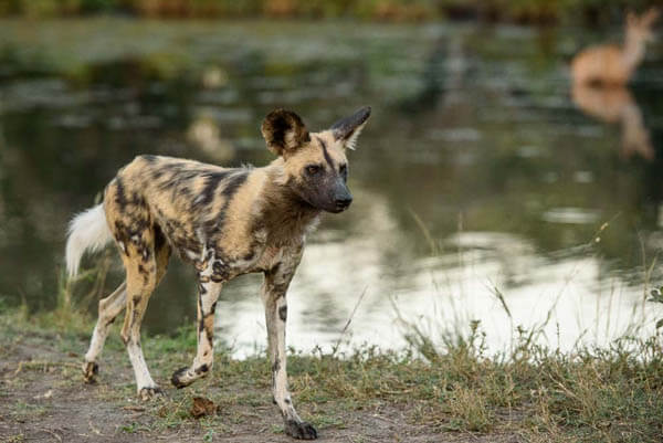 ZOOS WHERE TO SEE AFRICAN WILD DOGS