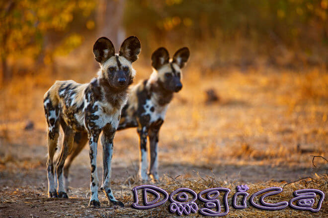 BEST LOCATIONS TO SEE AFRICAN WILD DOGS in AFRICA, WHERE TO SEE WILD DOGS