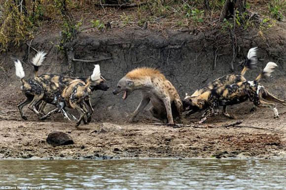 HYENA DOG MISCONCEPTIONS