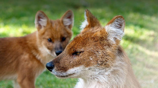 WILD INDIAN DOG DHOLE REPRODUCTION & DEVELOPMENT