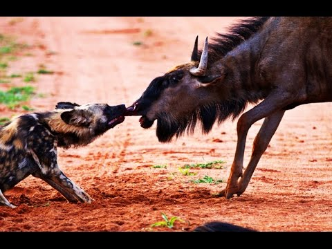 THE MYSTERIOUS AFRICAN WILD DOG - MYTHS & FACTS