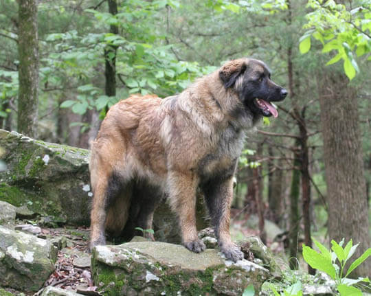 RARE SMALL BIG DOG BREEDS LIST - ESTRELA MOUNTAIN DOG
