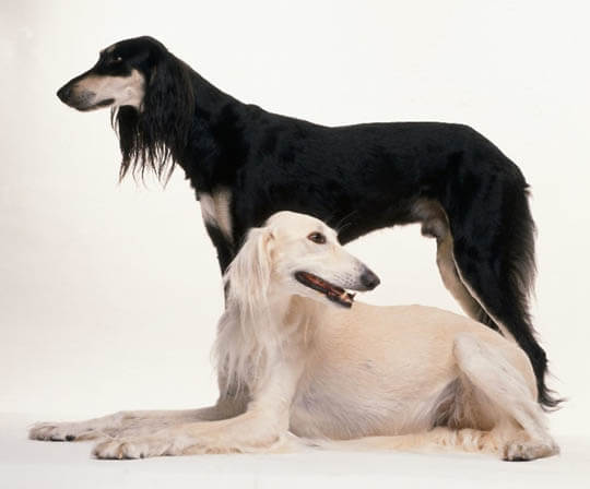 SMALL & BIG SALUKI