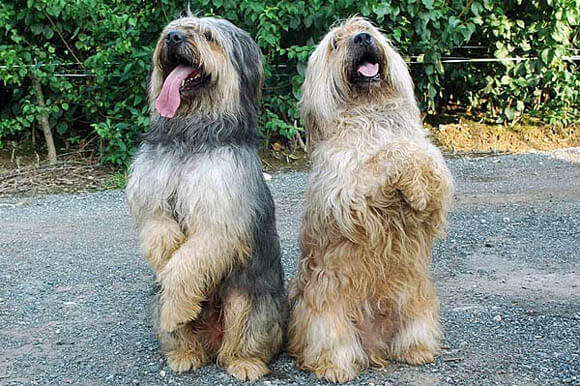 KOREAN SAPSALI SHAGGY DOG