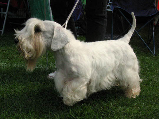 WELSH SEALYHAM TERRIER