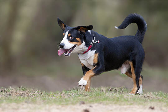 THE ENTLEBUCHER MOUNTAIN DOG