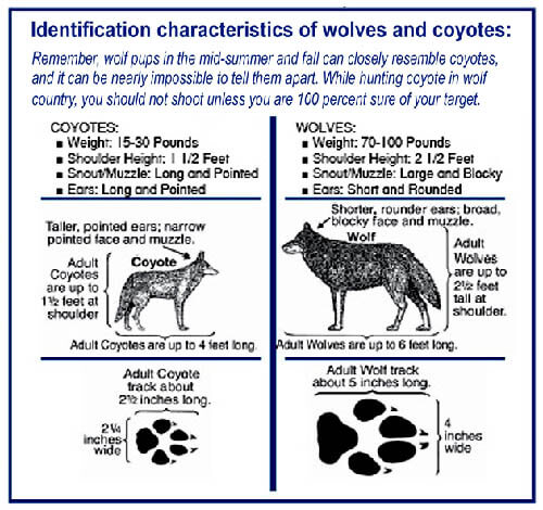 DOG COYOTE WOLF IDENTIFICATION - HOW TO DISTINGUISH WOLF?
