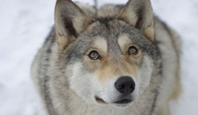 WOLFDOG: BREED SPECIFICATIONS, HYBRID DOG, MIXED DOG, DOG AND WOLF, WOLF-DOG, DOG-WOLF