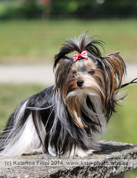 DOG BREED MISCONCEPTIONS - COLORFUL YORKSHIRE TERRIER