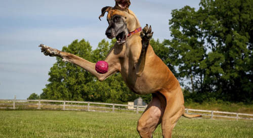 BIG & LARGE DOG BREED MISCONCEPTIONS