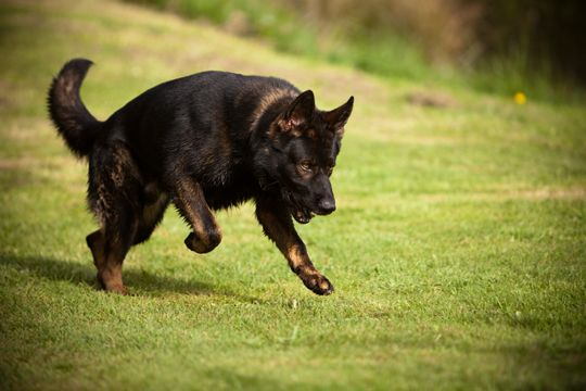 DOG BREED MISCONCEPTIONS - BLACK GERMAN SHEPHERDS