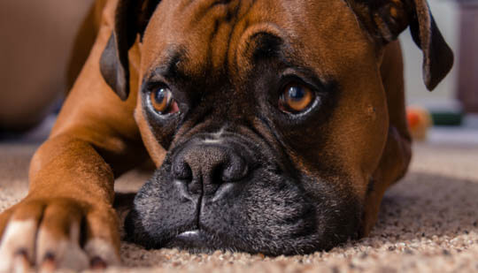 THE GENOME OF DOG SEPARATION ANXIETY