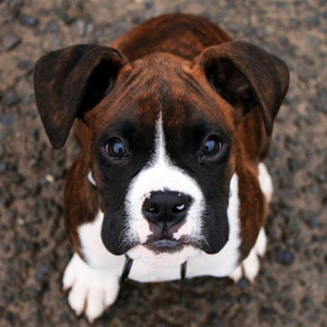 DOG BREED MISCONCEPTIONS - BOXER