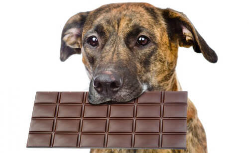 DOG & CHOCOLATE MISCONCEPTIONS
