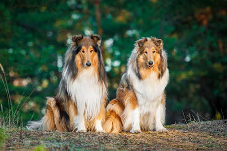 DOG BREED MISCONCEPTIONS - COLLIE