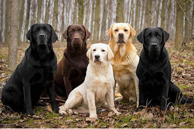 DOG BREED MISCONCEPTIONS - RETRIEVERS