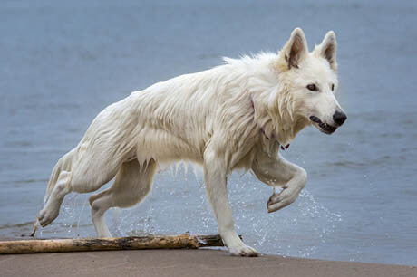 DOG BREED MISCONCEPTIONS - WHITE GERMAN SHEPHERDS