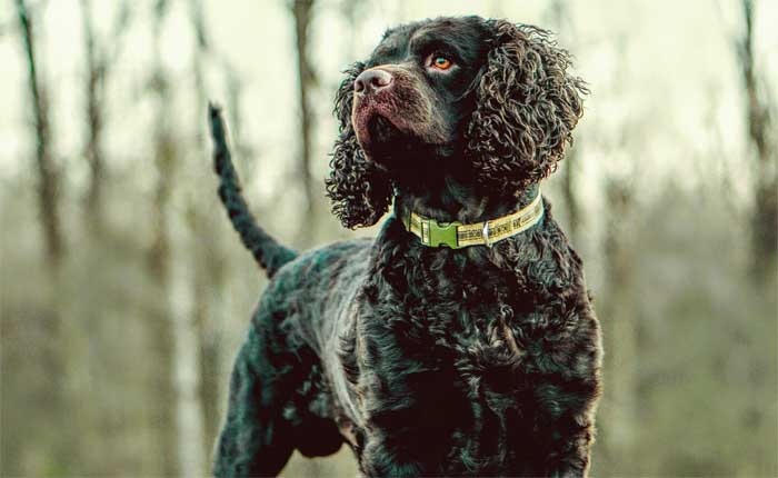 HUNTING GUN DOGS BREEDS LIST