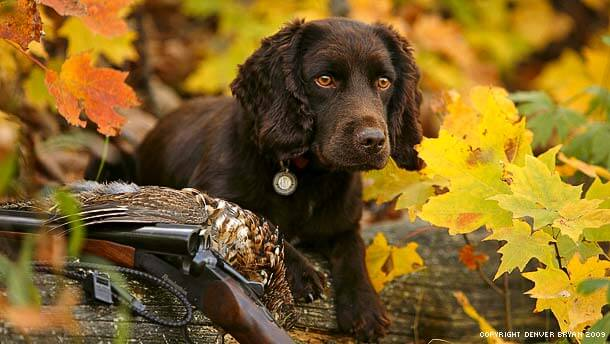 HUNTING DOG PUPPY