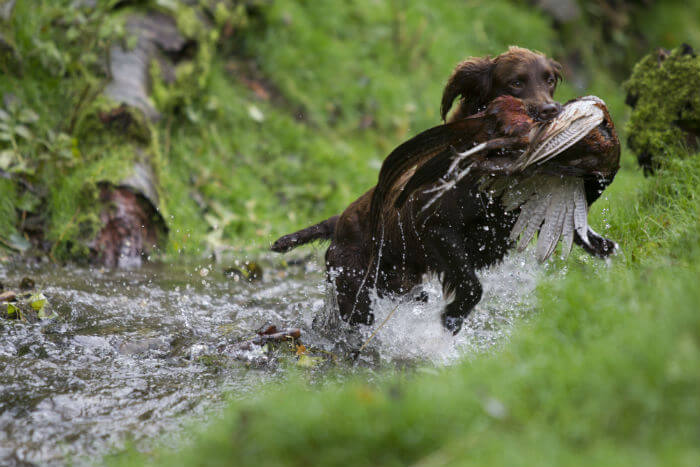 HUNTING GUNDOG TRAINING TIPS