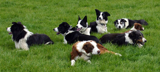 BUYING A SHEEPDOG GUIDE INFORMATION TIPS - TYPES OF SHEEPDOGS