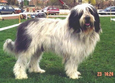 MIORITIC SHEEPDOG
