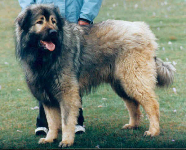 SARPLANINAC SHEEPDOG