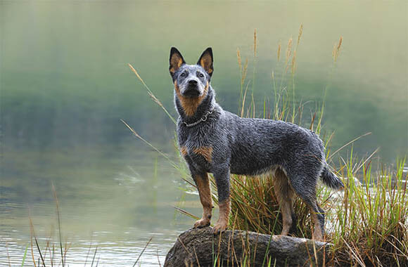 AUSTRALIAN CATTLE SHEEPDOG