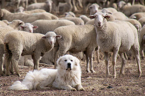 GREAT PYRENEES SHEEPDOG