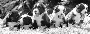 INFO ON SHEEPDOGS at WWW.CSJK9.COM